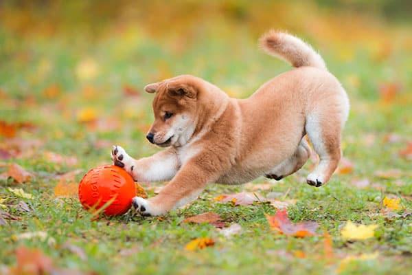 shiba inu chasing ball