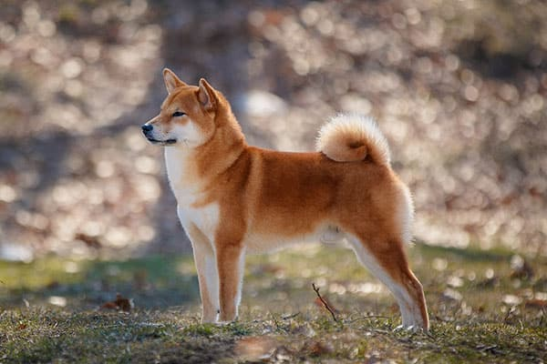 A Shiba Inu that was bred responsibly