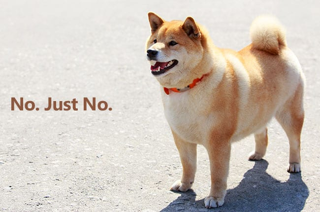overweight and fat shiba inu