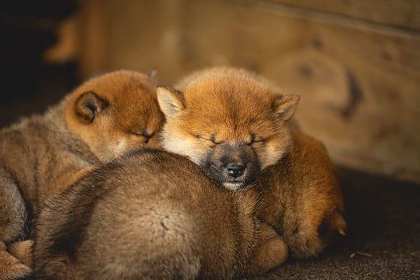 sleeping shiba inu puppies