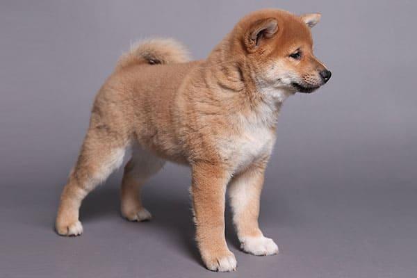well bred shiba inu puppy