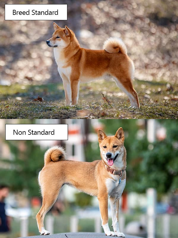 comparing well bred shiba inus