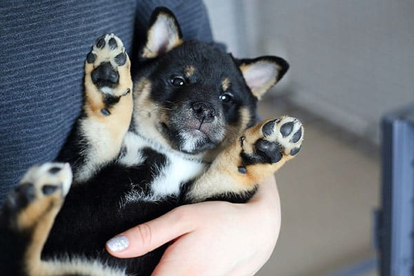 adorable black and tan puppy