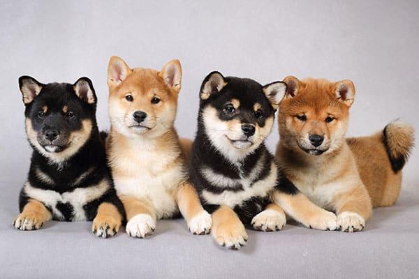 adobrable shiba inu puppies