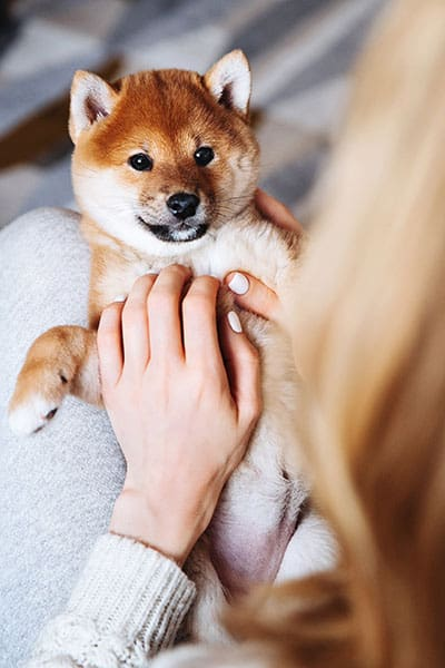 adorable shiba inu puppy being held