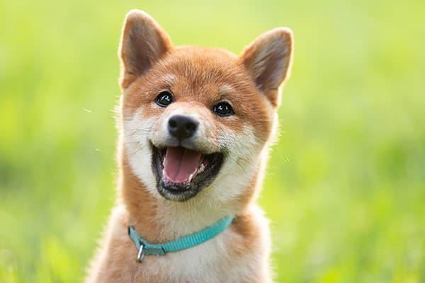 happy shiba inu puppy smiling