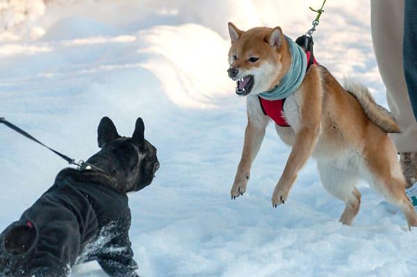 reactive shiba inu barking at french bulldog