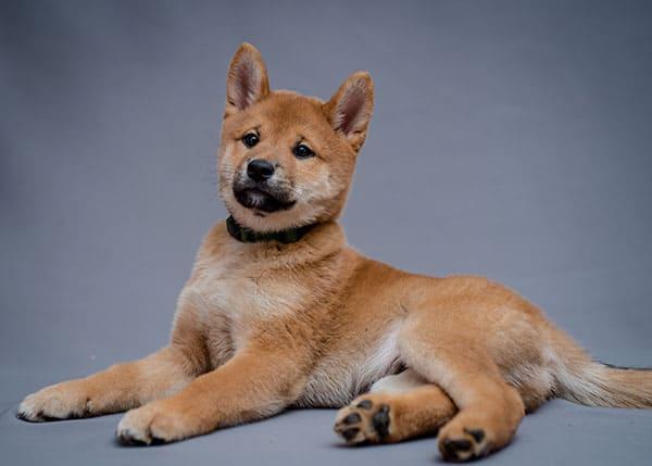 young shiba inu puppy