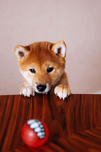 shiba inu checking out ball
