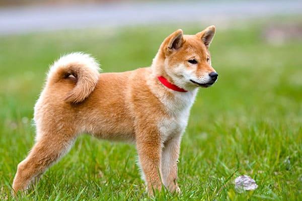 beautiful red shiba inu puppy