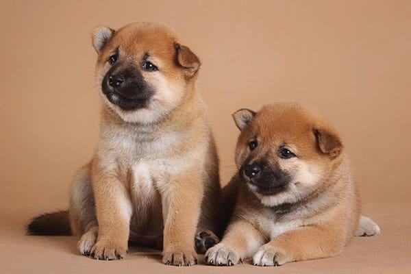 young shiba inu puppy littermates