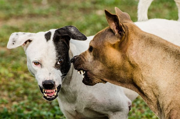 aggressive dogs showing teeth