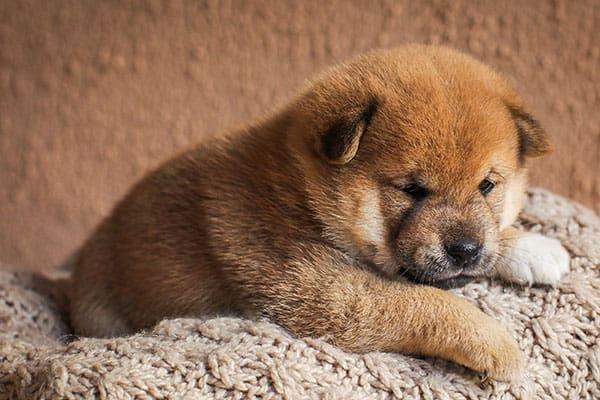 adorable young shiba inu puppy
