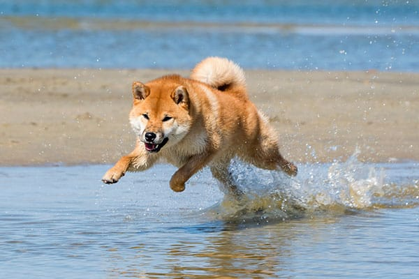 Male Shiba Inu enjoying running in the water