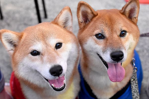 male and female shiba inu differences