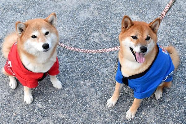Male and female Shiba Inu