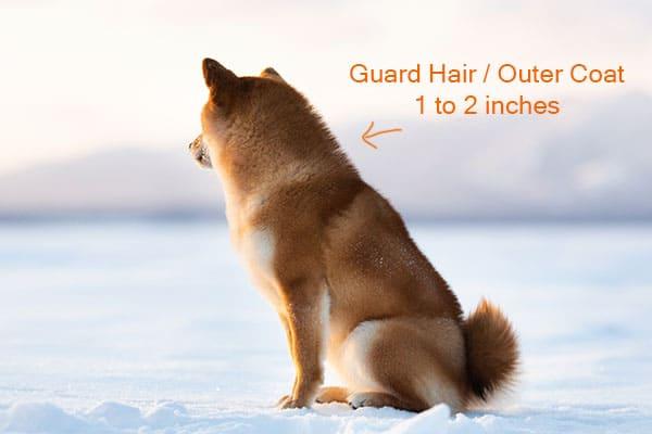 Shiba Inu guard hair